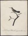Polytmus spec. - 1802 - Print - Iconographia Zoologica - Special Collections University of Amsterdam - UBA01 IZ19100111.tif
