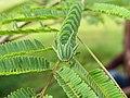 Polyura athamas - common nawab at Madayippara (2).jpg