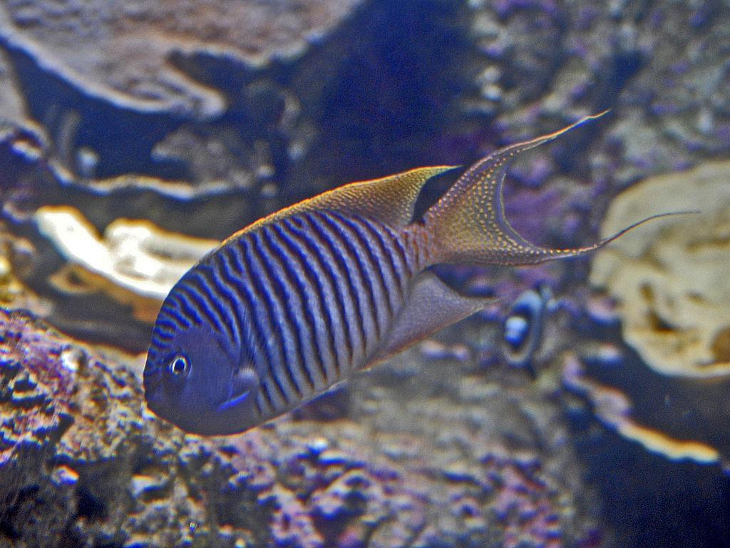 Pomacanthidae - Genicanthus melanospilos