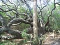 Ponce Inlet FL Green Mound oak01.JPG