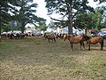 Pony Penning 2008 in Chincoteague 003.jpg