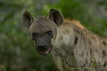 Portrait of spotted hyena.jpg