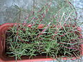 Portulaca grandiflora 1.jpg
