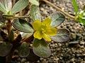Portulaca oleracea flower01.jpg