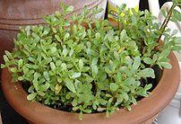 A Purslane cultivar grown as a vegetable