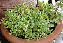 Portulaca oleracea coltivata in vaso