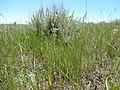 Potentilla pensylvanica (27520001171).jpg
