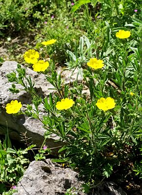 Hohes Fingerkraut (Potentilla recta)