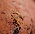 Praying Mantis (6941426290).jpg