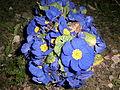 Primeln (Deutschland 2014) blau 01.JPG