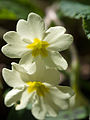 Primroses in the sun (13962889846).jpg