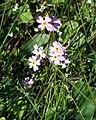 Primula Nutans Bothnian Bay 2006 06 26.JPG