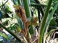 Pritchardia beccariana (4761432521).jpg