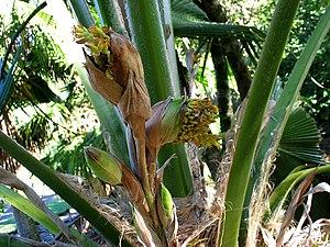 Pritchardia beccariana - Image: Pritchardia beccariana (4761432521)