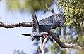 Probosciger aterrimus, Cape York 2.jpg