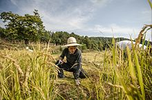 "A young man helps harvest rice by hand at a natural farm in a production still from the film ""Final Straw: Food, Earth, Happiness"""