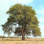 181px Prosopis caldenia