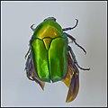 Protaetia-cuprea--SMNH-Tel-Aviv-Nature-Museum--IZE-295.jpg