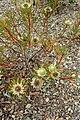 Protea scolymocephala kz2.jpg