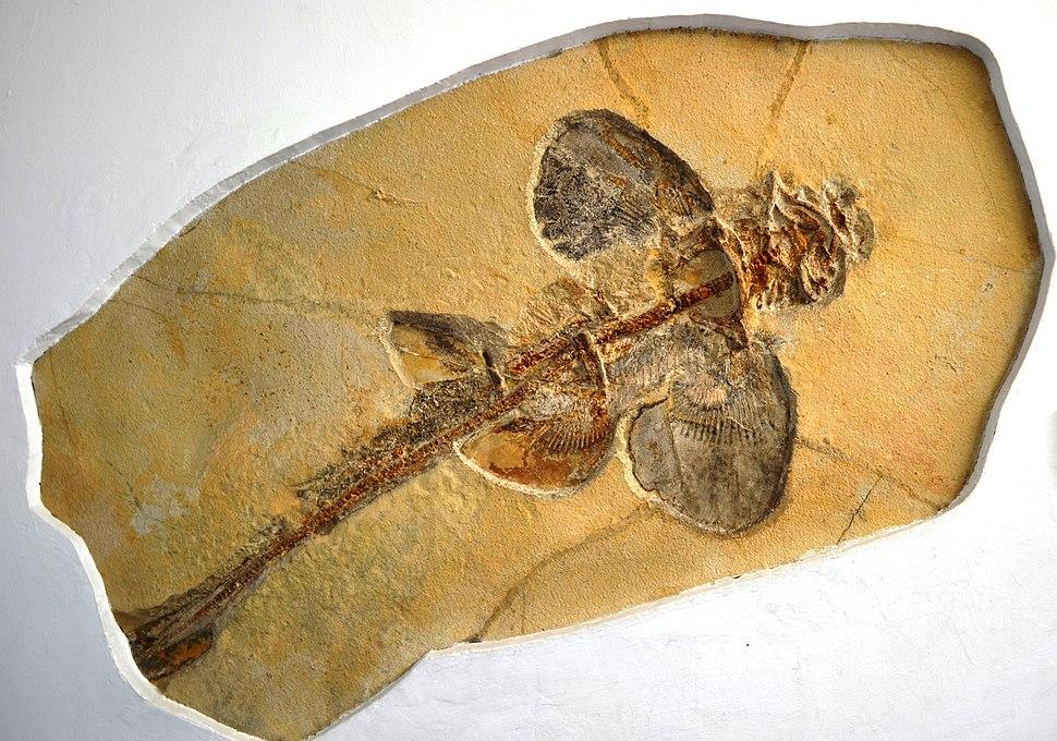Protospinax annectens, Paläontologisches Museum München