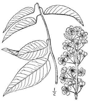 Description de l'image Prunus hortulana BB-1913.png.