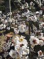 Prunus mume Gyokugakushidare2.jpg
