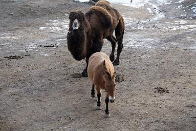 Przewalski-Pferd (Equus ferus przewalskii) Trampeltier (Camelus ferus) Zoo Salzburg 2014.jpg