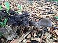 Psathyrella corrugis 840754.jpg