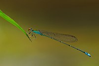 Pseudagrion rubriceps male-Kadavoor-2015-08-20-001.jpg