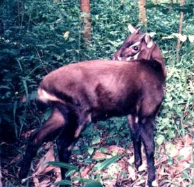 Pseudoryx nghetinhensis, b.PNG