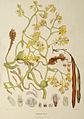 Pseudovanilla foliata (as. Galeola ledgeri) - FitzGerald, Australian Orchids - vol. 1 pl. 79 (1877).jpg