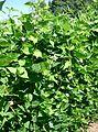 Psophocarpus tetragonolobus3.jpg