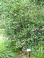 Psydrax odorata in Lyon Arboretum.jpg