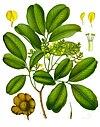 Pterocarpus marsupium - Köhler–s Medizinal-Pflanzen-252.jpg