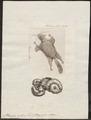 Pteromys volans - 1700-1880 - Print - Iconographia Zoologica - Special Collections University of Amsterdam - UBA01 IZ20400097.tif