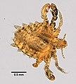 Pthirus pubis (YPM IZ 099353).jpeg