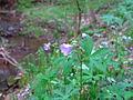 Purple-wildflower-beside-creek - West Virginia - ForestWander.jpg