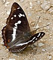 Purple Emperor (Apatura iris) male (34669688604).jpg