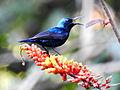 Purple Sunbird Cinnyris asiaticus Male by Dr Raju Kasambe (2).JPG