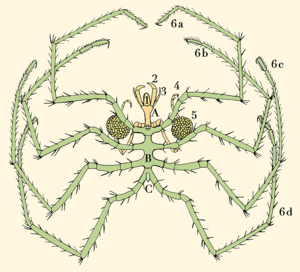 Sea spider - Anatomy of a pycnogonid: A: head; B: thorax; C: abdomen 1: proboscis; 2: chelifores; 3: palps; 4: ovigers; 5: egg sacs; 6a–6d: four pairs of legs