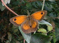 Pyronia tithonus1.jpg