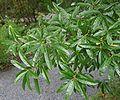 Quercus phellos 01.jpg