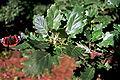 Quercus pubescens052.jpg