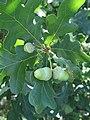 Quercus robur 3 RF.jpg