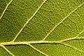 Quercus rugosa - Flickr - aspidoscelis (1).jpg