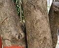 Quickstick (Gliricidia sepium) trunk in Kolkata W IMG 4059.jpg