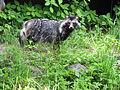 Raccoon dog (Nyctereutes procyonoides) in Elivstvere animal park, Jõgeva county, Estonia.JPG