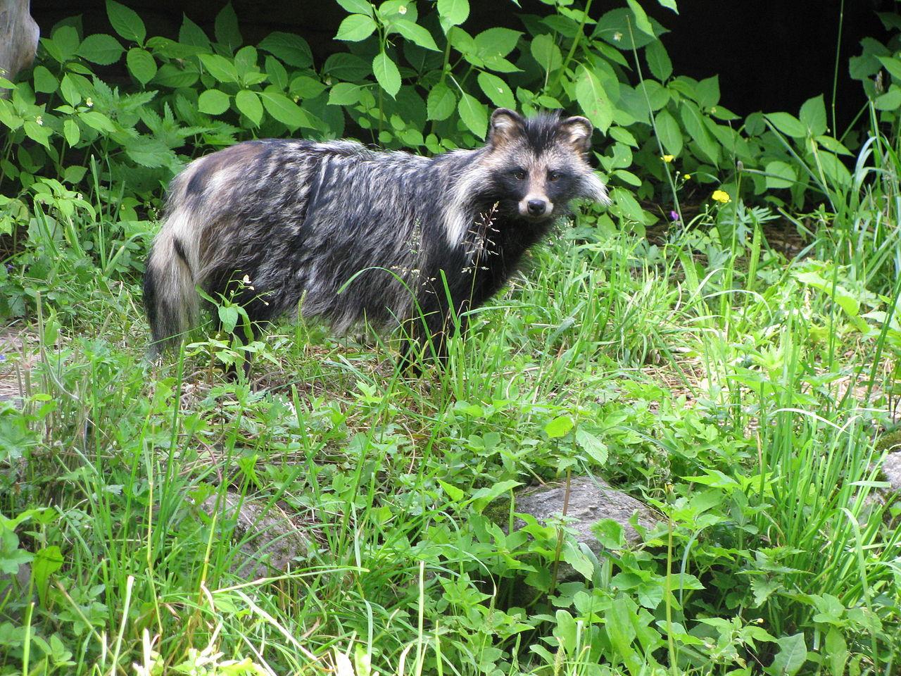 Raccoon Dog Or Cat