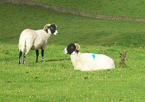"Glossary of sheep husbandry - These sheep have been ""raddled"" (marked)."