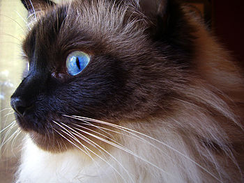 English: A male ragdoll cat birdwatching
